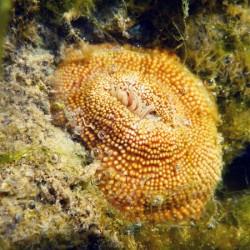 Anémone sur l'Ile du Petit-Connétable (Crédits : RNNC)