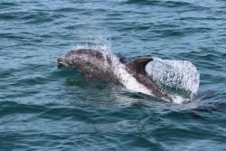 Grand dauphin au large de la Guyane (Crédits : R. Rinaldi)