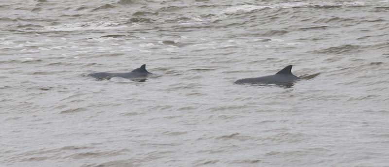 Exemple d'un dauphin facilement identifiable grâce à sa nageoire dorsale bien marquée (Crédits : K. Pineau)