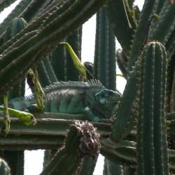 Iguane vert posté dans la barrière de Cactus proche de la colonie des Sternes (Crédits : RNNC)