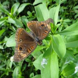 Junonia litoralis (Crédits : RNNC)