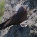 Noddi brun (Crédits : K. Pineau)