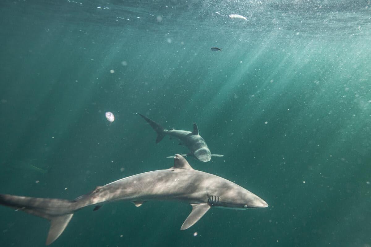 Requins soyeux au large de la Guyane (Crédits : Pierre Baelen Campagne Greenpeace 2019)
